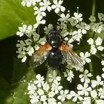Rinderfliege (Noon Fly, Mesembrina meridiana)