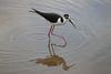 Galapagos Stilt by RickKramer