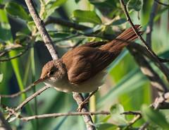 Teichrohrsänger / Eurasian Reed Warbler / Rørsanger / Acrocephalus scirpaceus