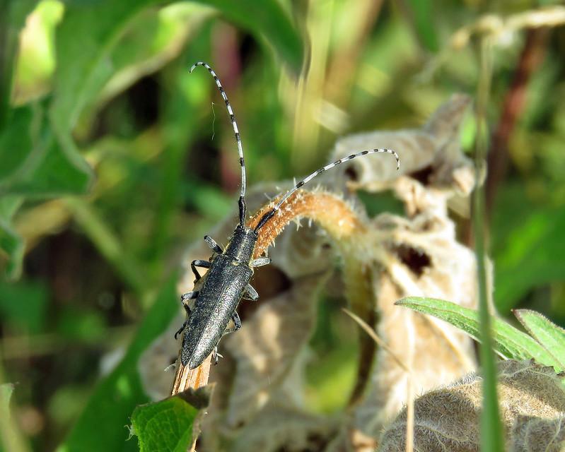 Golden-bloomed Grey Longhorn Beetle - Agapanthia villosoviridescens