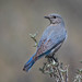 Mountain Bluebird by Turk Images