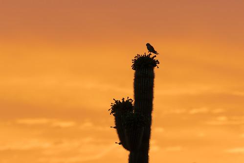 americankestrel bird perching cactus saguaro sunrise vaquerotrail brownsranch mcdowellsonoranpreserve scottsdale arizona desert sonorandesert