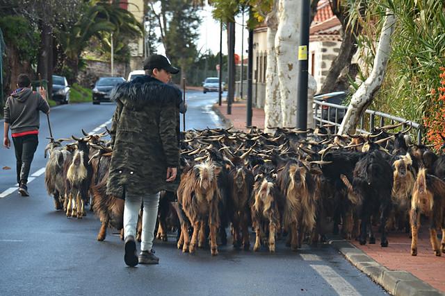 Goatherd, North Tenerife