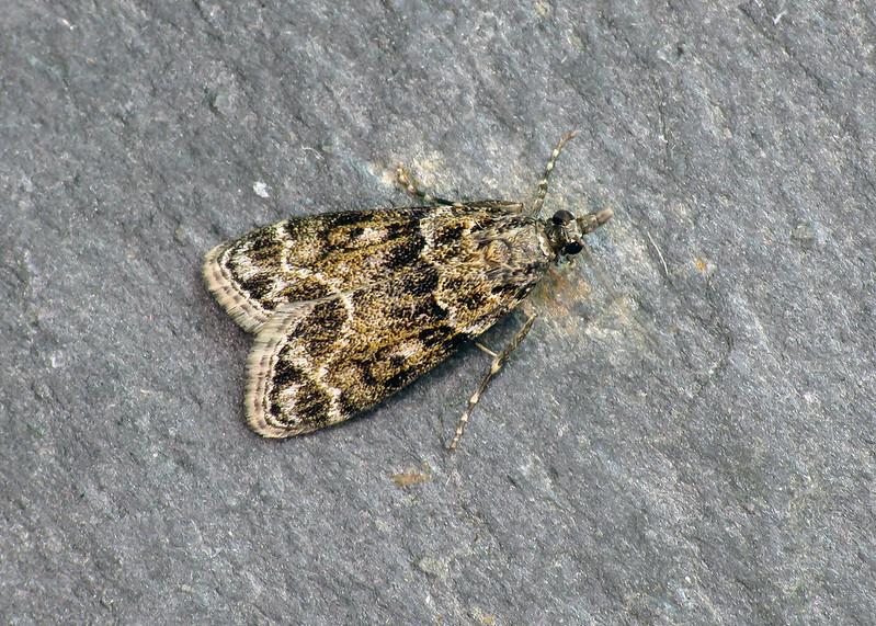 63.074 Eudonia mercurella