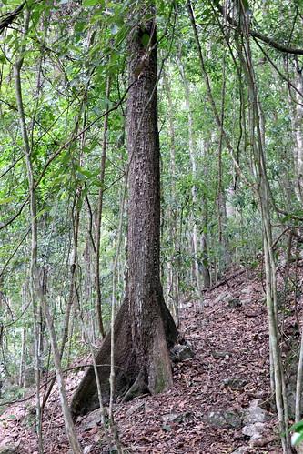 blackbooyong argyrodendronactinophyllum malvaceae argyrodendron booyong wokonationalpark arfp nswrfp qrfp dryarf dryrainforest lowlandarf uplandarf gloucesternsw nsw australia rainforest buttressroots forest wood tree