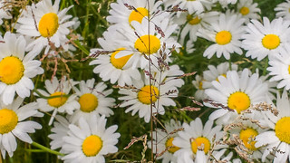 Applause From The Daisies David Prasad Flickr