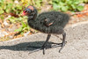 Common Moorhen Chick by warren hanratty
