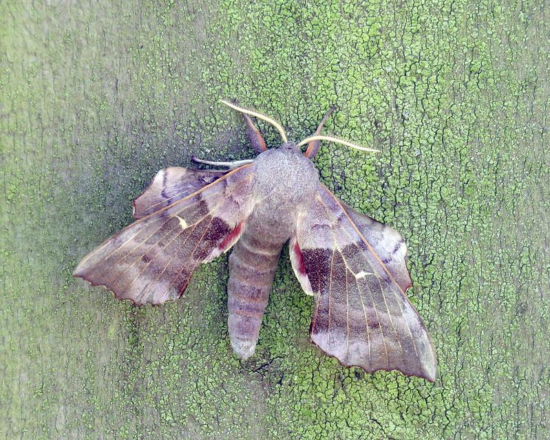 69.003 Poplar Hawk-moth - Laothoe populi