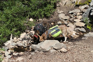 161 The dogs are happy to take a drink from Limber Pine Spring which was flowing well | by _JFR_