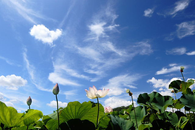 Lotus Under the Summer Sky
