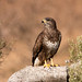 Common Buzzard - Photo (c) Ximo Galarza, some rights reserved (CC BY-NC-SA)