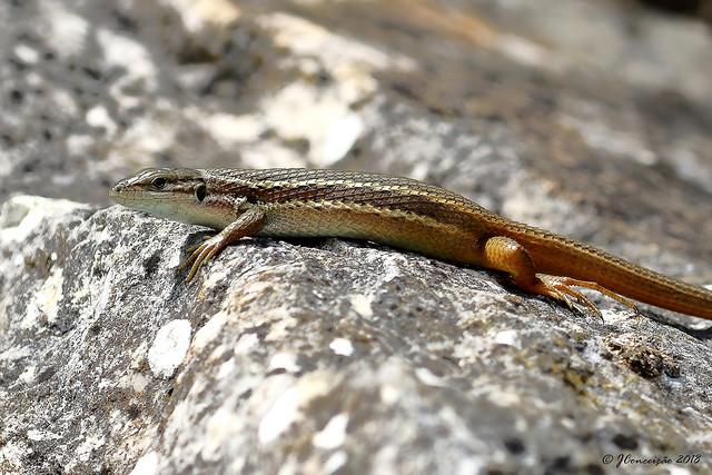 Lagartixa do mato - Psammodromus algirus - Large psammodromus