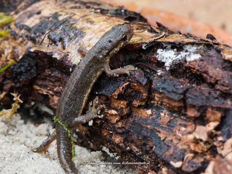 Kleine watersalamander (Lissotriton vulgaris-618_1213