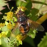 Igelfliege (Echinomyia fera)