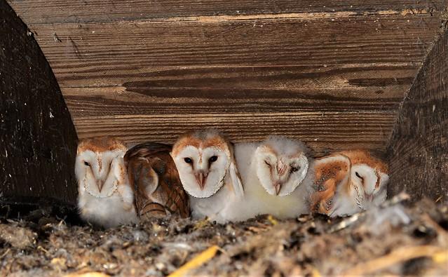 5 Wild Irish Barn Owls