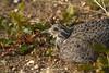 Patagonian Tinamou, Tinamotis ingoufi by Far South Expeditions