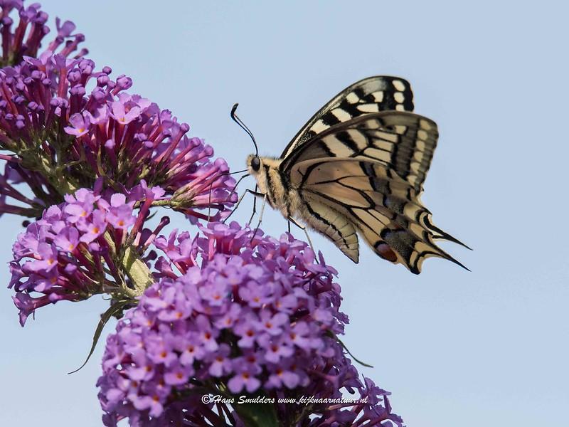 Koninginnenpage (Papilio machaon)-818_5144