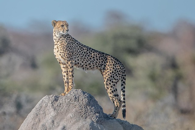 Momma Cheetah on the Lookout