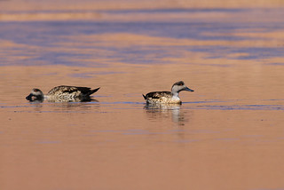 Crested Ducks, Putana, Chile November 2012 | by Sterna999