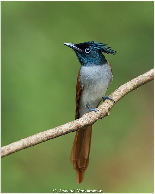 Indian Paradise Flycatcher