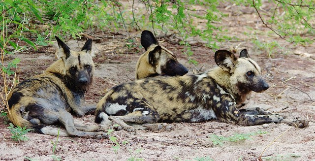 Three Wild Dogs Relaxing (Lycaon pictus)