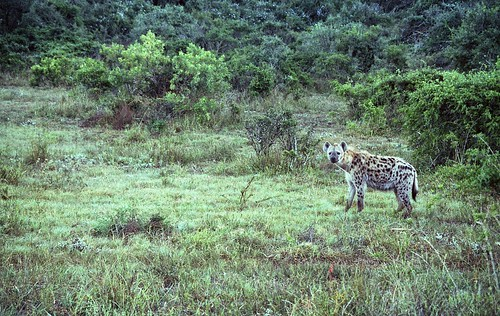 Hyena Watching | by TAZMPictures