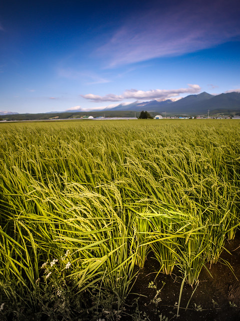 hokkaido rice