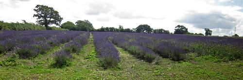 150815 004 Somerset Lavender, Faulkland