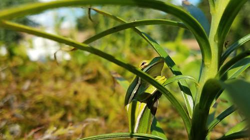 charlotte fauna greentreefrog hcinerea hylacinerea mecklenburgcounty nc northamerica northcarolina usa unitedstatesofamerica frog