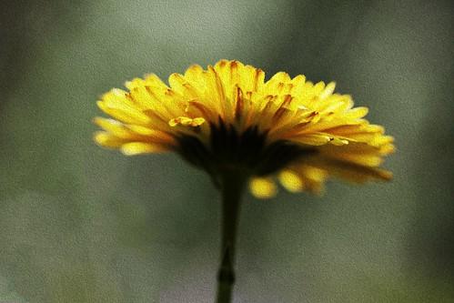 beautiful canon50d chanticleergardens ef100mm28 flower july lovely macro pennsylvania petal pretty soft stem summer