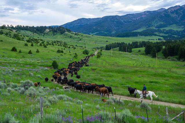 Moving Cows to the Mountains