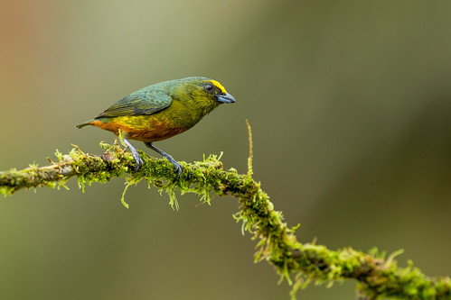 Olive-backed Euphonia male