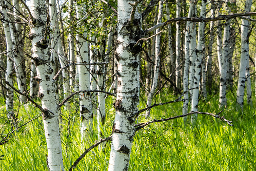 Aspen grove and smooth brome