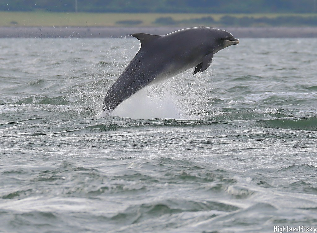 On the way up | Bottlenose Dolphin Breaching  Taken from lan… | Flickr