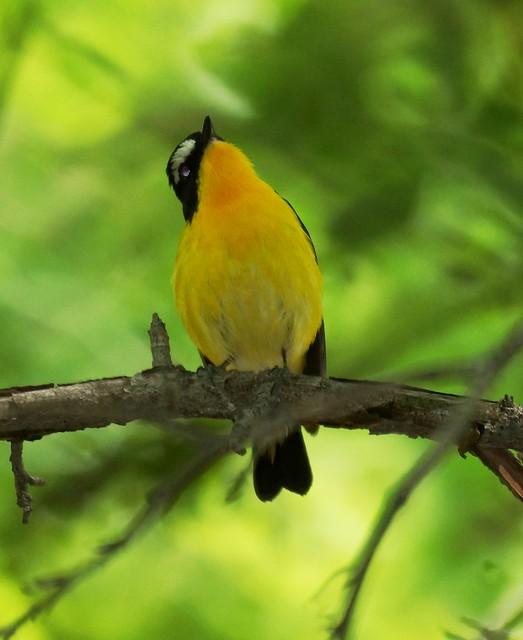 Yellow-rumped Flycatcher, Ficedula zanthopygia, Желтоспинная мухоловка
