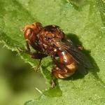 Gemeine Breitstirnblasenkopffliege (Thick-headed Fly, Sicus ferrugineus)