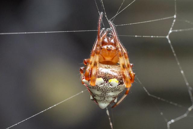 Verrucosa arenata, DeKalb County, Tennessee 2