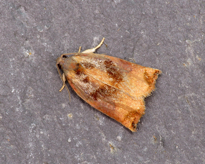 49.013 Large Fruit-tree Tortrix - Archips podana
