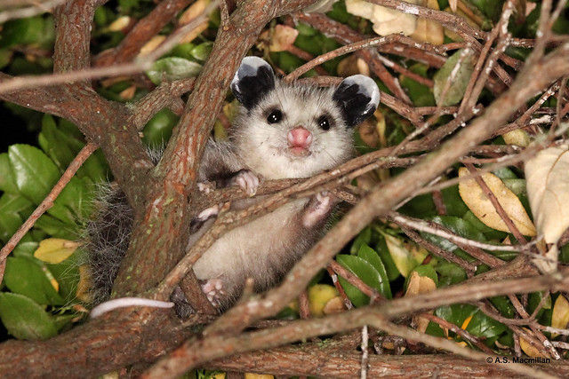 Young Virginia opossum, Didelphis virginiana
