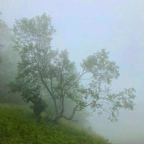 tree nature mist fog brp blueridgeparkway nc northcarolina