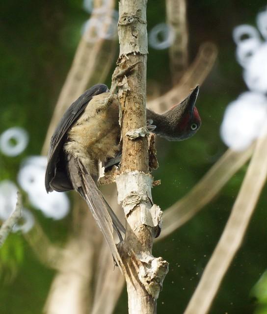 Ashy Woodpecker, Mulleripicus fulvus, Сулавесский мюллеров дятел