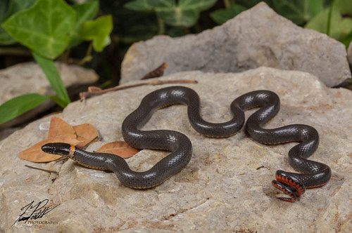Ring-necked Snake | by Frank Portillo