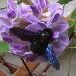Grosse schwarze Holzbiene