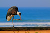 woolly-necked stork by tdwrsa