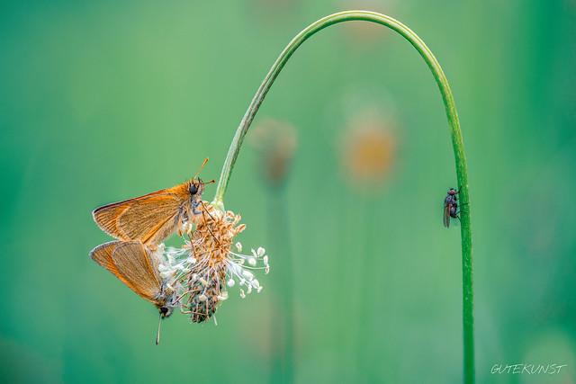Fr, 2018-06-15 15:23 - Voyeur n°2 - Dickkopffalter bei der Paarung mit Zuschauer  Voyeur n°2 - Thickhead butterfly mating with spectators
