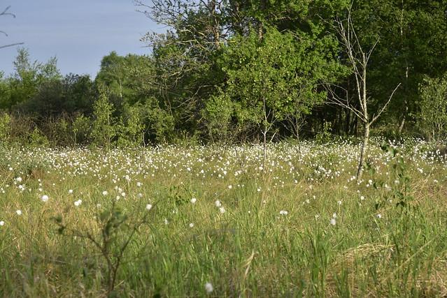 Im Südermoor - Wollgras-Wattebäusche, Scheiden-Wollgras (Eriophorum vaginatum); Norderstapel, Stapelholm (42)