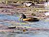 African Pygmy Goose by Mandara Birder