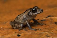 Banded robber frog - Pristimantis taeniatus