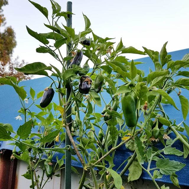 Have you ever been proud of a plant of yours? I'm proud of this Coolepeño Pepper that survived the winter and regrew to more than a yard tall and now producing more fruits. Go Coolepeño go! #coolepeño #coolepenopeppers #coolepeno #pepper #peppers