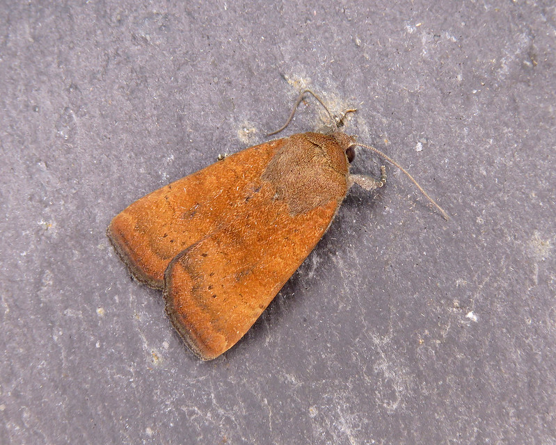 73.346 Least Yellow Underwing - Noctua interjecta